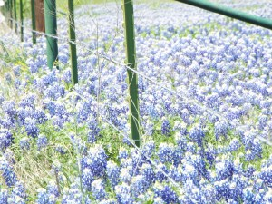 Fields of Bluebonnets