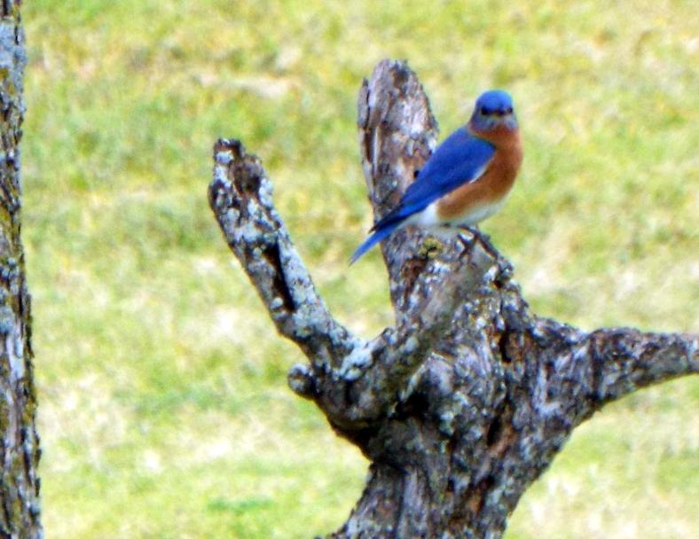 bluebird 0092