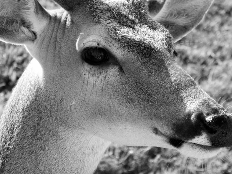 deer bw