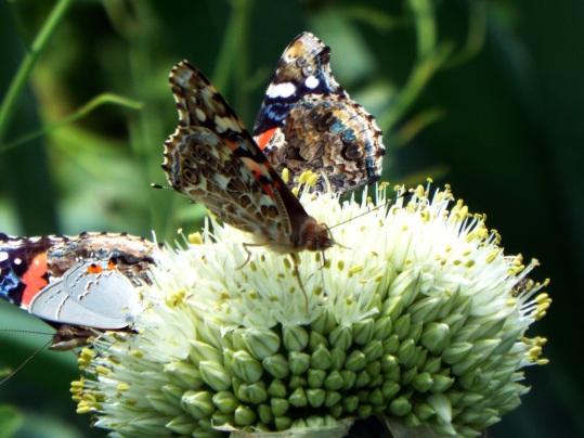 butterflies 022