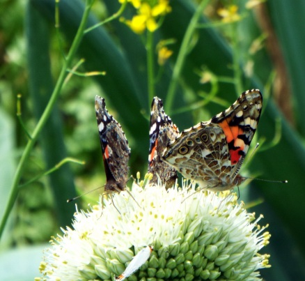 butterflies 027