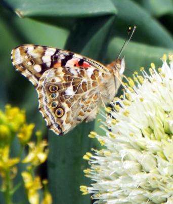 butterflies 043