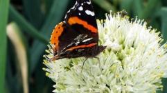 butterflies 049